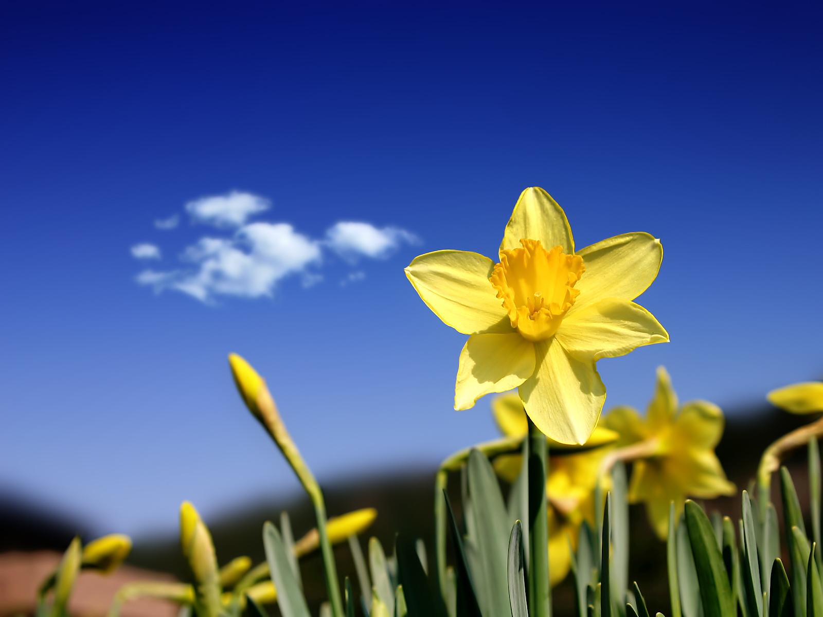 http://haltonhelps.org/Egardening/daffodil.htm