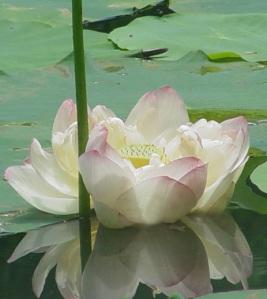 Lotus Photo  Anne Machetto