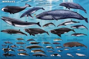 A234-Whales-522-6x9x72rgb