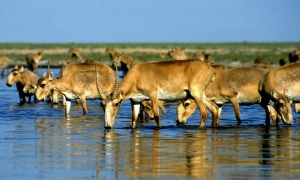 Saiga antelopes drink from a lake outside Almaty, Kazakhstan. Photograph: Anatoly Ustinenko/AFP/Getty Images