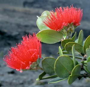 'Ohi'a blossoming on the floor of Kilauea Iki crater, Hawai'i / M.Vassey photo